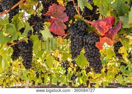 Bunches Of Merlot Grapes Ripening On Vine In Vineyard At Harvest Time