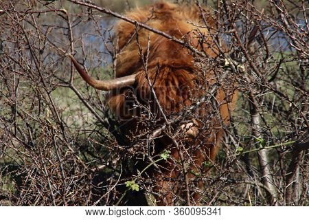 Red Scottish Highlander Cow With Large Horns Grazes In The Dunes At The Headland Of Rozenburg