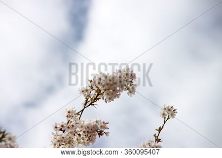 White And Pink Blossom Flowers Of The Prunus Tree In Public Park In Nieuwerkerk Aan Den Ijssel In Th