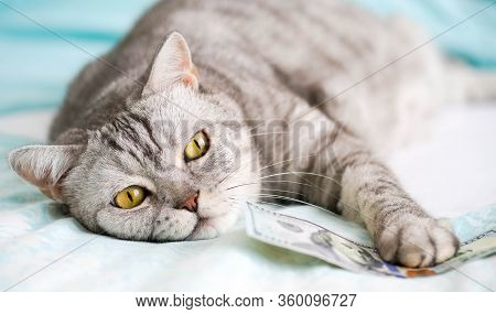 Cat Brit With Banknote Lying On The Bed On A Blue Background