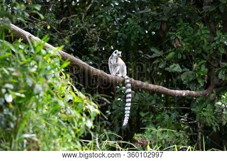 A Ring-tailed Lemur In The Rainforest On The Island Of Madagascar