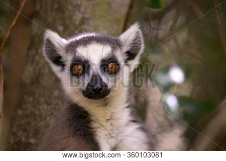 One Portrait Of A Ring-tailed Lemur On A Tree