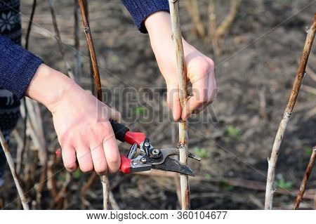 Prunning Raspberry In Early Spring By Removing The Top 1/4 Of The Canes To Facilitate Harvesting.