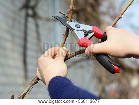Pruning, Trimming Grape Vine With Bypass Secateur, Shears In Late Winter, Early Spring.