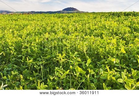 Field With Green Manure