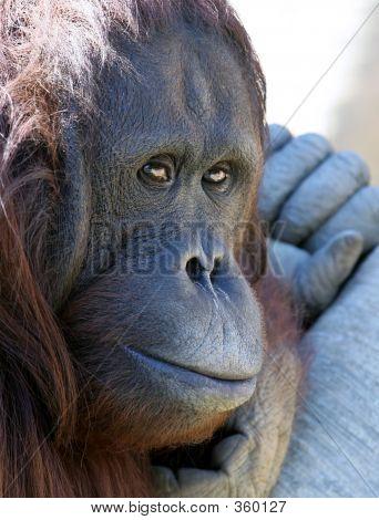Gibbon o mono mono o gorila escalofriante en el sol mirando infeliz
