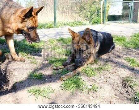 Portrait Of Two German Shepherds , Portrait,one Dog Is Watching A Dirty German Shepperd.