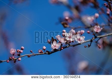 Close-up Branches Of A Blossoming Fruit Tree Against The Sky. Blooming Fruit Tree At Spring. Fresh P