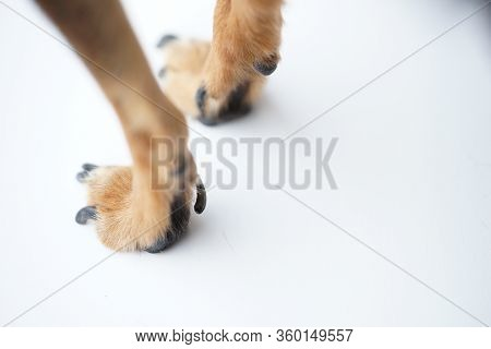 Paws With Long Claws Of A Small Dog On A White Background Close-up,macro Photo.