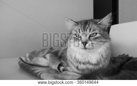 Lovable Cat Relaxes Lying On The Table. Grey Silver Version Of Siberian Breed, Long Haired Hypoaller