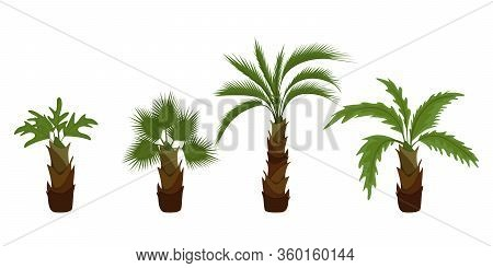Coconut Palm Tree (cocos Nucifera). Miami Trees, Coconut Palm Or Exotic Hawaii Forest Green Tree.