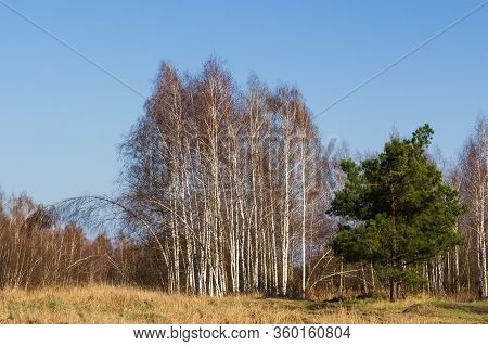 Grove Of Birch Trees With White Trunk In Spring