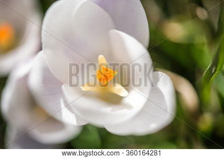 Crocus Flower. Crocus Flower Close Up With Pollen. Crocus Flower - Wallpapers For Background.