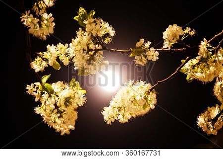 A Beautiful Branch Of Blooming Plum At Night In The Full Moon. Art Photo. White Plum Blossoms In The