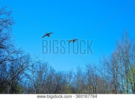 Two Canada Geese Flying Over A Northeast Ohio Woodland Just Beginning To Green In Early Spring