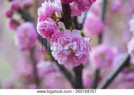 Pink Cherry Blossom In Full Bloom, Flowers Nature