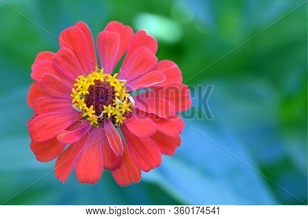 Orange Zinnia Flower Blooming In Garden On Day Time