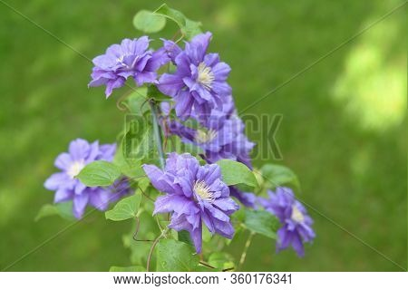 Group Of Beautiful Purple Clematis In Sunny