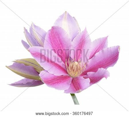 Beautiful Clematis Pink Isolate On White Background