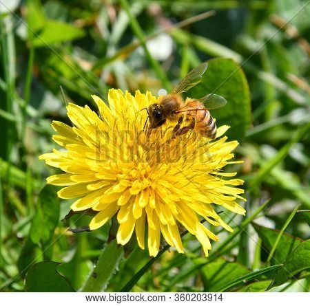 The Bee Collects Nectar From The Yellow Flowers Of The Dandelion Pollinates Them