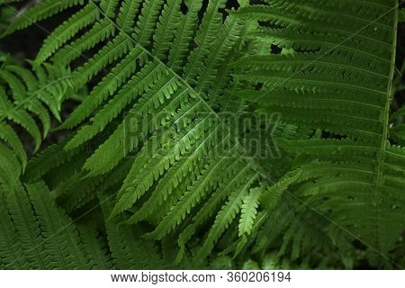 Ferns Leaves. Green Foliage Natural Floral Fern Background In Sunlight.