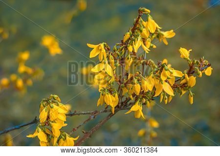 Blooming Forsythia In Springtime. Blurry Backdrop With Yellow Flowers. Beautiful Florets In The Park