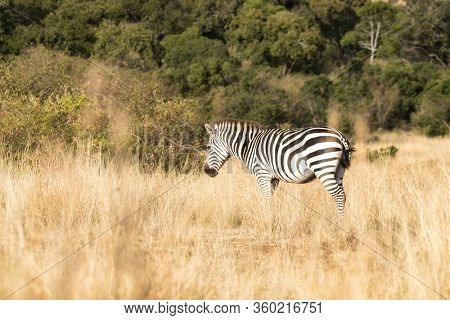 Plains, or common zebra, Equus Quagga, standing in the long grass of the Masai Mara, Kenya