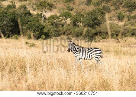 Plains, or common zebra, Equus Quagga, walking through the long grass of the Masai Mara, Kenya