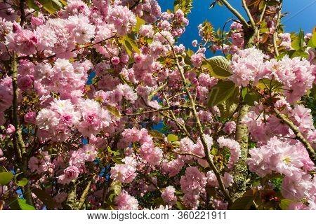 Close-up Of Prunus Japonica (cerasus Japonica), Also Called Japanese Bush Cherry Or Oriental Bush Ch