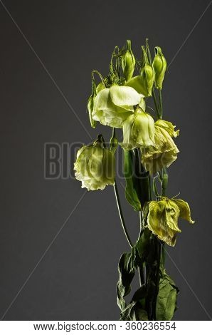 Wilted Green Flower In Front Of Black Background