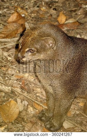 An Eyra Or Jaguarundi In Captivity At A Zoo