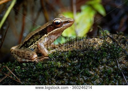 Common Southeast Asian Tree Frog - Polypedates Leucomystax, Species In The Shrub Frog Family Rhacoph