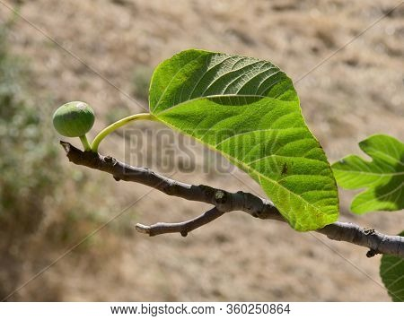 white fruit and a leaf in backlight of a fig tree in Sicily