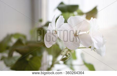 White Flower Of Geranium, Pelargonium Hortorum Bail Geraniaceae On White Background With Clipping Pa