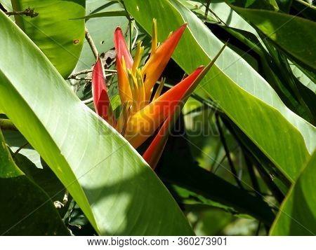 Flor De Heliconia En Jardín Rodeado De Plantas Verdes