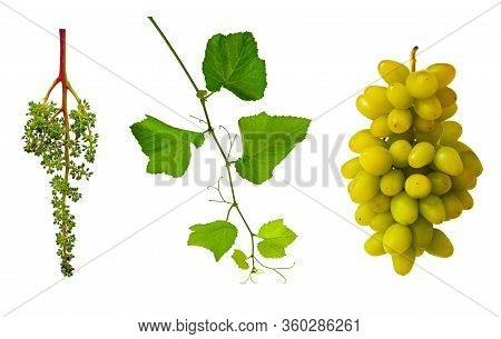 Grape Flower Buds, Baby Grapes.young Green Branch Of Grapes. Grapevine With Tendrils.  Grape Seedlin