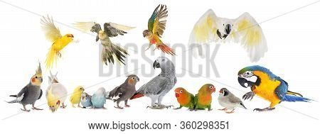 Common Pet Parakeet, African Grey Parrot, Lovebirds, Zebra Finch And Cockatielin Front Of White Back