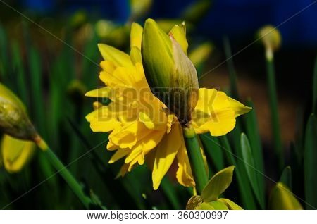 View On Spring Narcissus Flowers. Narcissus Flower Also Known As Daffodil, Daffadowndilly