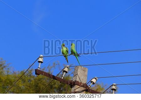 Low Angle Of Rose Ringed Parakeet Or Parrot Couple Making Love On Wire Of Electricity Power, Bird Wa