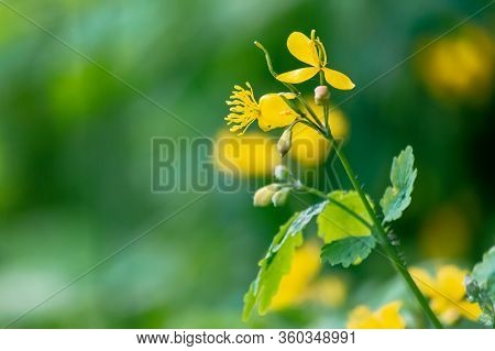 Yellow Blooming Of The Greater Celandine. Wild Herbs On The Grassy Meadow On A Sunny Day. The Plant
