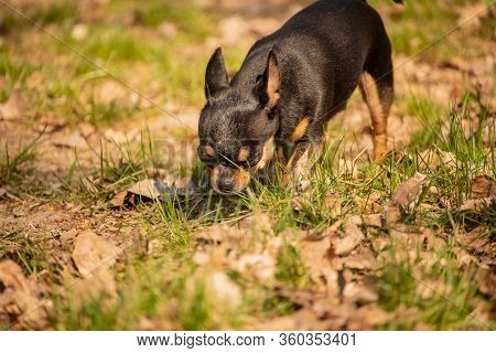 Chihuahua Dog Defecated In Field Of Grass