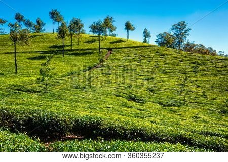 Green tea plantation in the morning. Munnar, Kerala state, South India