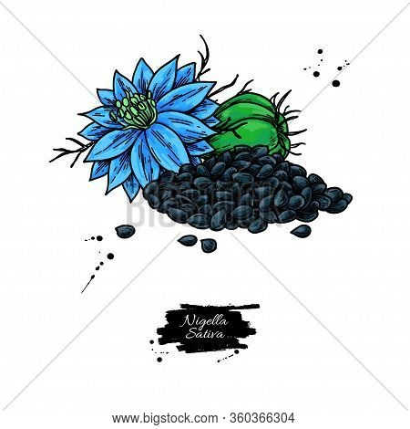 Nigella Sativa Vector Drawing. Black Cumin Isolated Illustration.