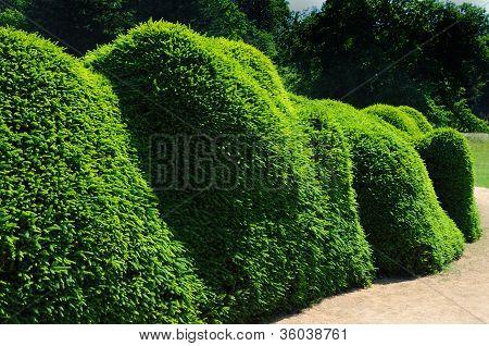 Pruned fir hedge