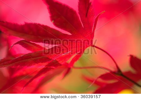 Closeup Patterns Of Red And Pink Japanese Maple Leaves
