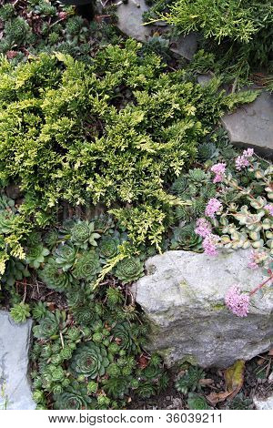 Rock Garden With Juniper And Sedums