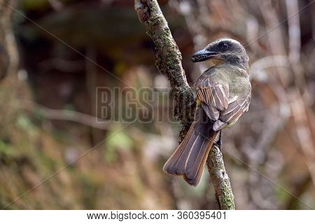 Yellow Flycatcher Posing In The Vertical Branch With A Fly In Its Beak