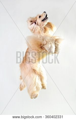 Fawn Cocker Spaniel In A Jump On A White Background, Blonde Haired Cocker Spaniel In Studio