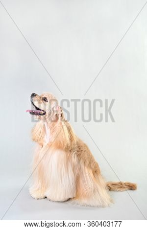 A Fawn Cocker Spaniel Sits On A White Background, Blonde Haired Cocker Spaniel In Studio