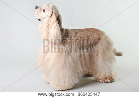 A Fawn Cocker Spaniel Stands On A White Background, Blonde Haired Cocker Spaniel In Studio
